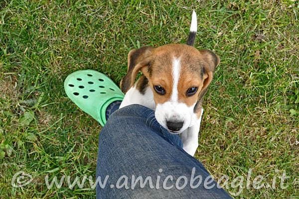 beagle monta foto