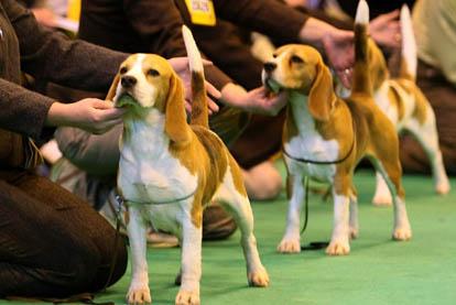 beagle da lavoro e da bellezza foto