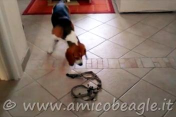 beagle odia oggetti situazioni foto