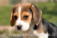 Quale nome per il cucciolo di Beagle?