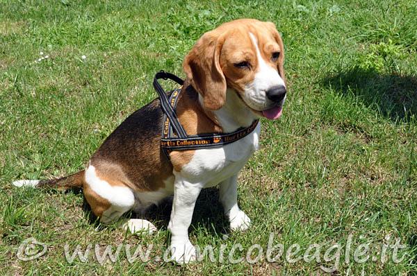 misura pettorina beagle foto