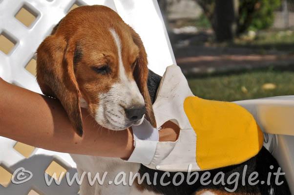 beagle perde pelo foto