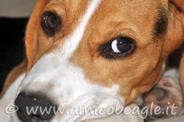 beagle occhi rossi foto