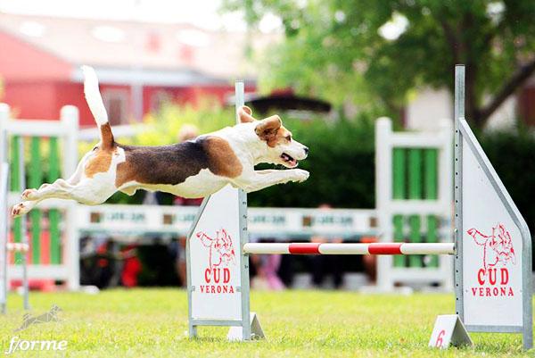 beagle agility andrea tagliapietra foto