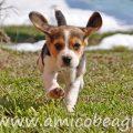 con cuccioli beagle vuole pazienza foto