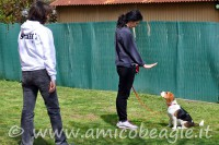 educatore cinofilo beagle foto