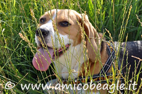 forasacchi beagle foto