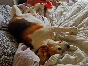 beagle aggredito foto