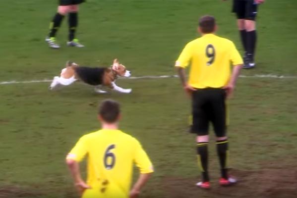 beagle calciatore foto