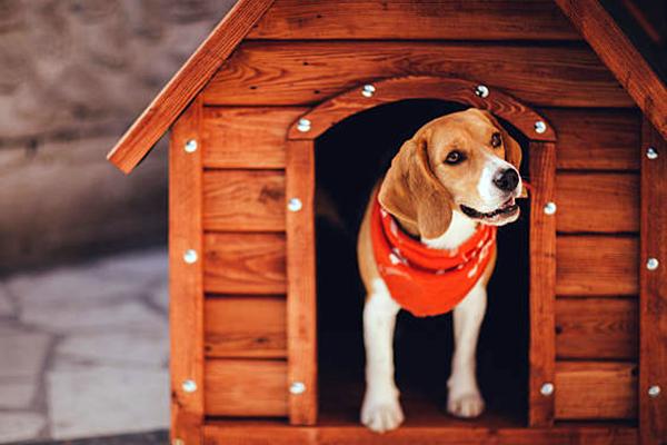 cuccia per beagle foto