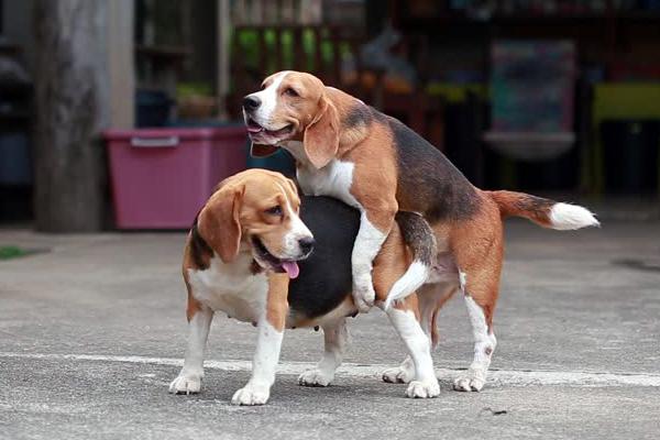 beagle accoppiamento foto