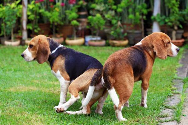 beagle accoppiamento