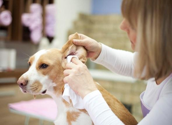 pulire orecchie beagle foto