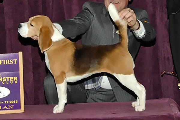 beagle standard foto